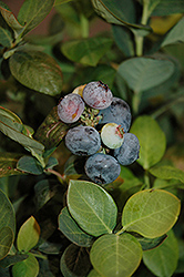 Peach Sorbet® Blueberry (Vaccinium 'ZF06-043') at The Growing Place