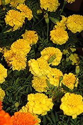 Little Hero Yellow Marigold (Tagetes patula 'Little Hero Yellow') at The Growing Place