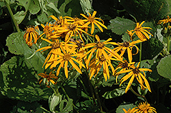 Othello Rayflower (Ligularia dentata 'Othello') at The Growing Place