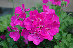 Caliente Lavender Geranium (Pelargonium 'Caliente Lavender') at The Growing Place