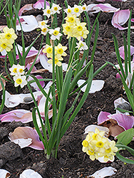 Minnow Miniature Daffodil (Narcissus 'Minnow') at The Growing Place