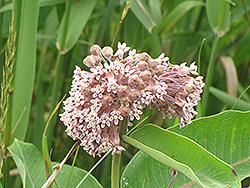 Common Milkweed (Asclepias syriaca) at The Growing Place