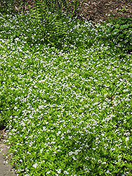 Sweet Woodruff (Galium odoratum) at The Growing Place