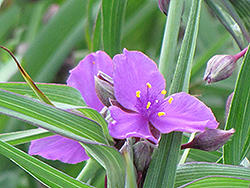 Concord Grape Spiderwort (Tradescantia x andersoniana 'Concord Grape') at The Growing Place