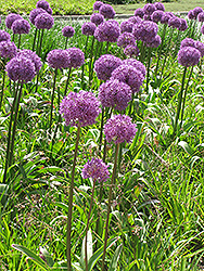 Giant Onion (Allium giganteum) at The Growing Place