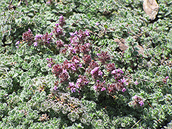 Wooly Thyme (Thymus pseudolanuginosis) at The Growing Place