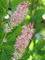 Ruby Spice Summersweet (Clethra alnifolia 'Ruby Spice') at The Growing Place