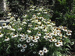 White Swan Coneflower (Echinacea purpurea 'White Swan') at The Growing Place