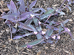 Wandering Jew (Tradescantia zebrina) at The Growing Place