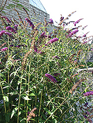 Black Knight Butterfly Bush (Buddleia davidii 'Black Knight') at The Growing Place