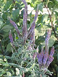 Wild Indigo Bush (Amorpha canescens) at The Growing Place