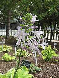 Fragrant Bouquet Hosta (Hosta 'Fragrant Bouquet') at The Growing Place