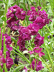 Stock (Matthiola incana) at The Growing Place