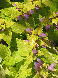 Golden Spotted Dead Nettle (Lamium maculatum 'Aureum') at The Growing Place