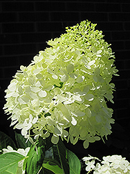 Limelight Hydrangea (Hydrangea paniculata 'Limelight') at The Growing Place