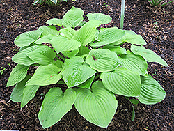 August Moon Hosta (Hosta 'August Moon') at The Growing Place