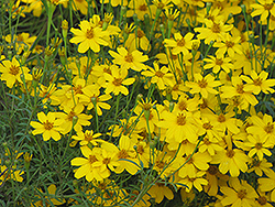 Zagreb Tickseed (Coreopsis verticillata 'Zagreb') at The Growing Place
