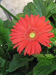 Jaguar Deep Orange Gerbera Daisy (Gerbera 'Jaguar Deep Orange') at The Growing Place