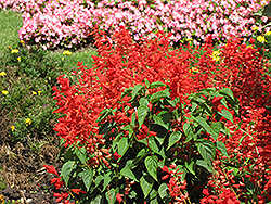 Sizzler Red Sage (Salvia splendens 'Sizzler Red') at The Growing Place