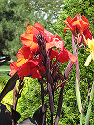 Cleopatra Red Canna (Canna 'Cleopatra Red') at The Growing Place