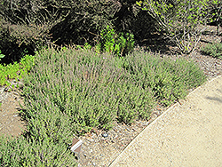 Creeping Germander (Teucrium chamaedrys) at The Growing Place