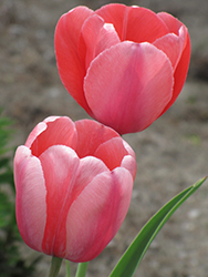 Pink Impression Tulip (Tulipa 'Pink Impression') at The Growing Place