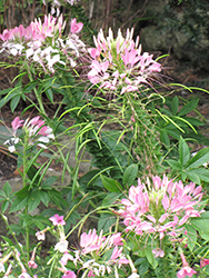 Sparkler™ Blush Spiderflower (Cleome hassleriana 'Sparkler Blush') at The Growing Place