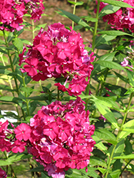 Nicky Garden Phlox (Phlox paniculata 'Nicky') at The Growing Place