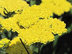 Moonshine Yarrow (Achillea 'Moonshine') at The Growing Place