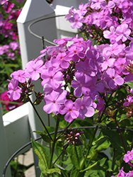 Forever Pink Garden Phlox (Phlox 'Forever Pink') at The Growing Place