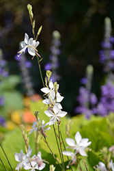 Stratosphere™ White Gaura (Gaura lindheimeri 'Gautalwi') at The Growing Place
