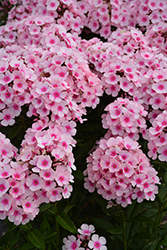 Bright Eyes Garden Phlox (Phlox paniculata 'Bright Eyes') at The Growing Place