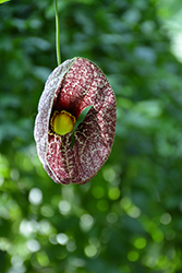 Dutchman's Pipe (Aristolochia macrophylla) at The Growing Place