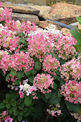 Little Quick Fire® Hydrangea (Hydrangea paniculata 'SMHPLQF') at The Growing Place