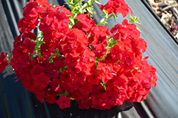Intensia® Red Hot Annual Phlox (Phlox drummondii 'DPHLOX911') at The Growing Place
