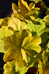 Northern Exposure™ Lime Coral Bells (Heuchera 'TNHEUNEL') at The Growing Place