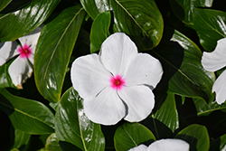 Pacifica Polka Dot Vinca (Catharanthus roseus 'Pacifica Polka Dot') at The Growing Place