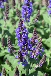 Bumbleblue Meadow Sage (Salvia nemorosa 'Bumbleblue') at The Growing Place