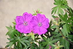 New Hampshire Purple Cranesbill (Geranium sanguineum 'New Hampshire Purple') at The Growing Place