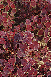 Garnet Robe Coleus (Solenostemon scutellarioides 'Garnet Robe') at The Growing Place