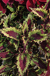 Roaring Fire Coleus (Solenostemon scutellarioides 'Roaring Fire') at The Growing Place