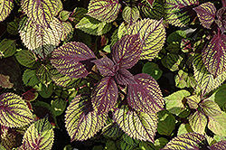 Fishnet Stockings Coleus (Solenostemon scutellarioides 'Fishnet Stockings') at The Growing Place
