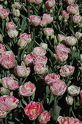 Angelique Tulip (Tulipa 'Angelique') at The Growing Place