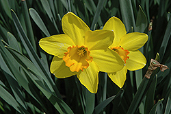 Carlton Daffodil (Narcissus 'Carlton') at The Growing Place