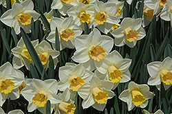 Salome Daffodil (Narcissus 'Salome') at The Growing Place