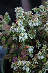 Jelly Bean® Blueberry (Vaccinium 'ZF06-179') at The Growing Place