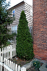 Dark Green White Cedar (Thuja occidentalis 'Nigra') at The Growing Place