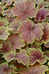 Delta Dawn Coral Bells (Heuchera 'Delta Dawn') at The Growing Place