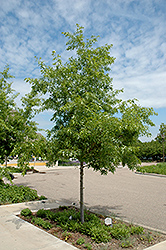 Majestic Skies™ Northern Pin Oak (Quercus ellipsoidalis 'Bailskies') at The Growing Place