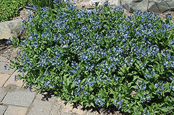 Blue Ice Star Flower (Amsonia tabernaemontana 'Blue Ice') at The Growing Place